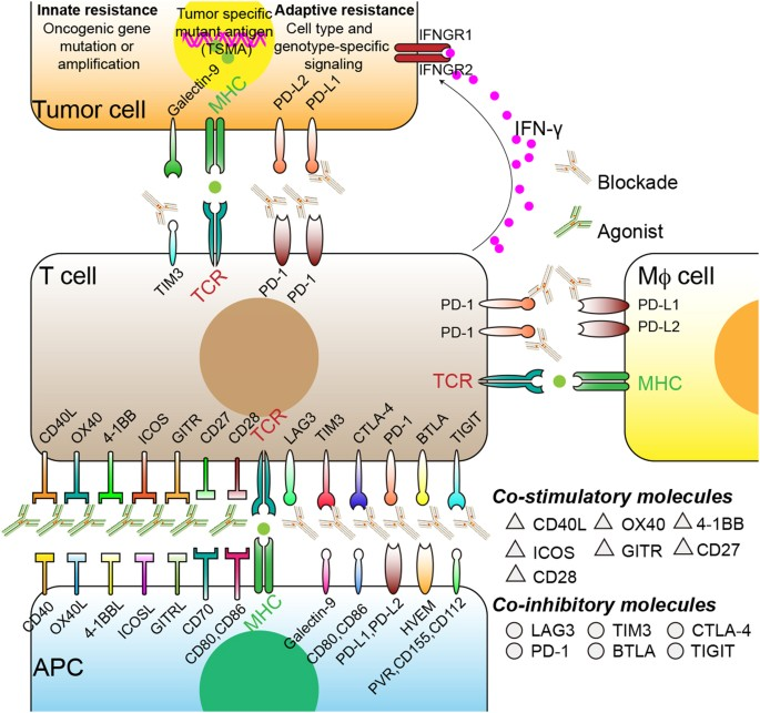 the application of immune response to tumours can be correctly