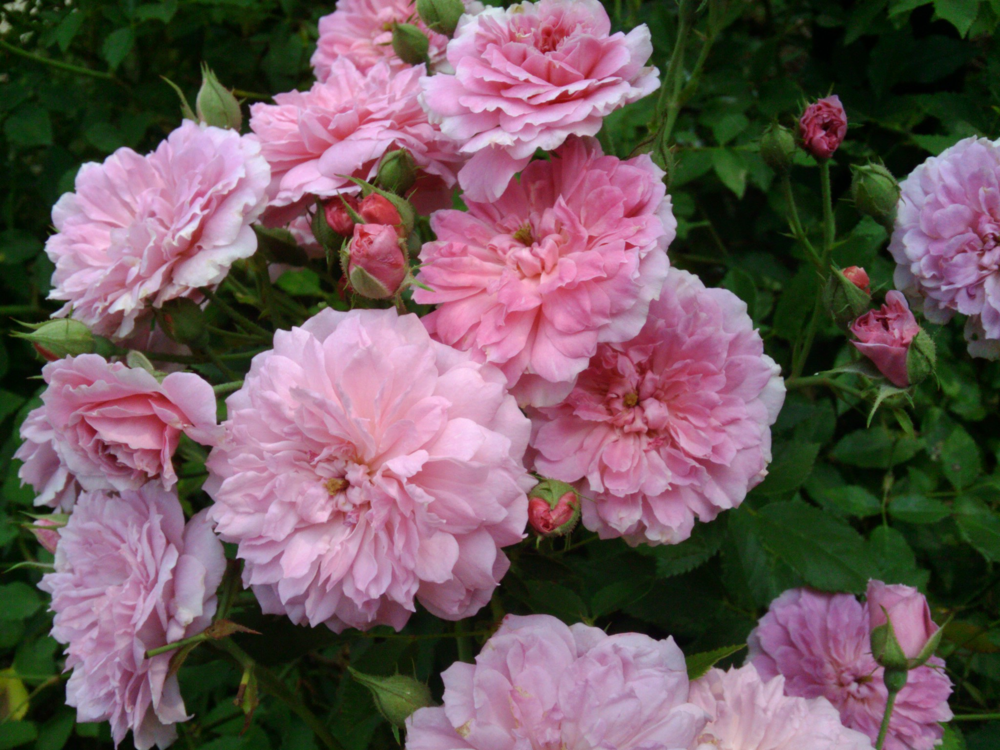 rose cow manure application rate